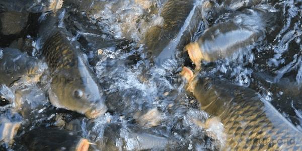 Menggali Potensi Budidaya Ikan Air Tawar1