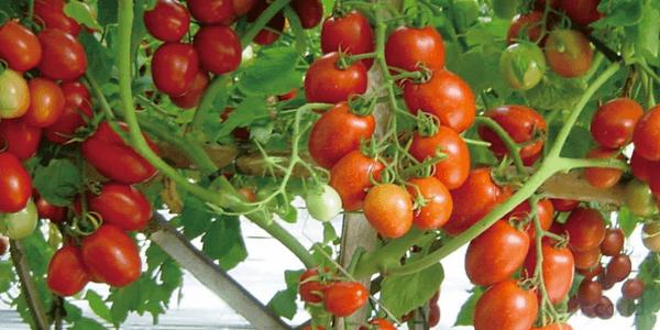 Pemahaman Budidaya Hortikultura Secara Organik2