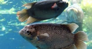 Air Untuk Ikan Gurame