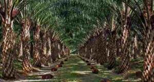 Tanah Untuk Tanaman Sawit