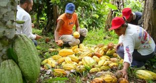 Proses Pemanenan Buah Kakao