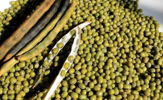 Proses Pasca Panen Kacang Hijau