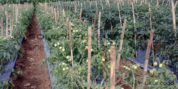 Budidaya Tomat Yang Baik-1